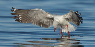 Grey-headed Gull coming in to land Stock Photography