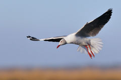 Grey-headed Gull hovering Stock Photo