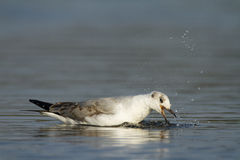 Grey-headed gull Stock Photo