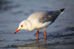 Free Grey-headed Gull On A Beach In Paracas Bay, Peru Stock Images - 70632364