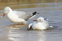 Grey headed gull splashing  water over self Stock Photos