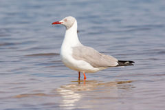Grey headed gull standing in river Stock Images