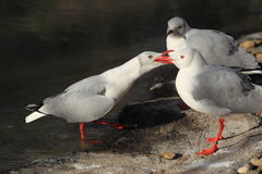 Grey-headed gull Stock Photos