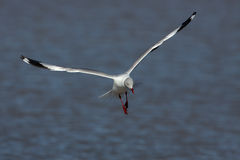 Grey-headed gull & x28;Chroicocephalus cirrocephalus& x29; Stock Image