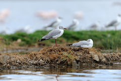 Grey-Headed Gulls (Larus cirrocephalus) Stock Photo