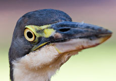 Grey headed Heron Stock Photography