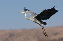 Grey headed Heron Royalty Free Stock Photo