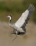 Grey headed heron in flight Stock Photography