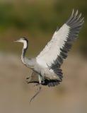 Grey headed heron in flight Stock Photography