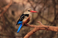 Grey-headed Kingfisher fotografering för bildbyråer