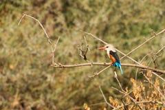 A grey-headed kingfisher Royalty Free Stock Photos