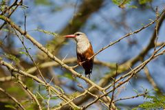 Grey-headed Kingfisher on a Branch Stock Photos