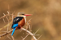 Grey headed kingfisher Stock Images