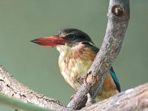 Grey-headed Kingfisher (Halcyon leucocephala) Stock Photo