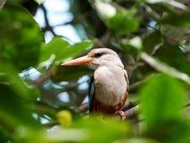 Grey-headed Kingfisher (Halcyon leucocephala) Royalty Free Stock Image