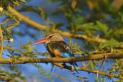 Grey-headed Kingfisher Royalty Free Stock Photography