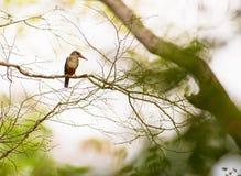 Grey-headed Kingfisher Stock Image