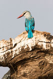 Grey headed kingfisher Stock Photo