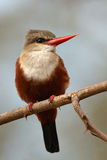 Grey headed kingfisher Royalty Free Stock Image
