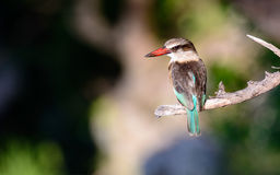 A Grey headed Kingfisher at rest Royalty Free Stock Photography