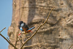 Grey-headed Kingfisher taking off. Royalty Free Stock Photography