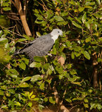 Grey-headed Kite. A Grey-headed Kite (Leptodon cayanensis) feeds on a termites nest balancing near the canopy of rainforest tree Royalty Free Stock Photos