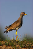 Grey-headed Lapwing Stock Image
