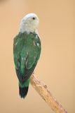 Grey-headed parrot Royalty Free Stock Photos