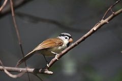 Grey headed parrotbill Royalty Free Stock Photography