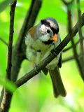 Grey-headed Parrotbill love life of the young Stock Images