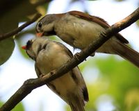 Grey-headed Parrotbill love life of the young Royalty Free Stock Images