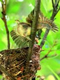 Grey-headed Parrotbill love life of the young Stock Image