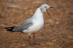 Grey Headed Seagull with beak wide open Stock Image