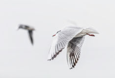 Grey-Headed seagull flying over the cloudy sky Royalty Free Stock Photo