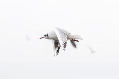 Grey-Headed seagull soaring over the cloudy sky Royalty Free Stock Photography