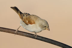 Grey-headed sparrow Stock Images
