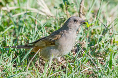 Grey-headed Sparrow With Caterpillar Stock Image