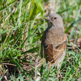 Grey-headed Sparrow - passer griseus. A Grey-headed Sparrow, with head turned and looking comical, with grass sticking to its bill.  It had been feeding on seeds Royalty Free Stock Image