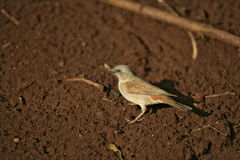 Grey-headed sparrow, Passer griseus Stock Photos