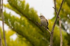 Grey headed Sparrow Royalty Free Stock Photo