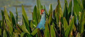 Grey headed swamphen in the leaves in Florida, USA. Royalty Free Stock Images