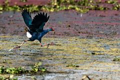 Grey-headed swamphen stock images