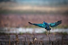 Grey-headed swamphen stock photos