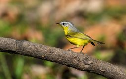 Grey headed warbler royalty free stock image