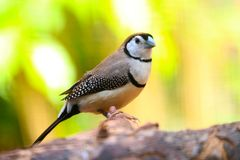 Grey-headed or white-cheeked oliveback finch from africa in front of a blurry bright yellow green backgrou. Grey-headed or white-cheeked oliveback finch Stock Photography