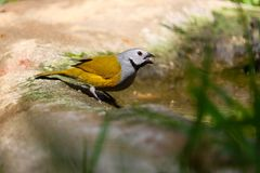 Twittering grey-headed or white-cheeked oliveback finch from africa in front of a blurry yellow green background. Grey-headed or white-cheeked oliveback finch Royalty Free Stock Images