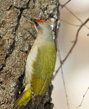 Grey-headed Woodpecker. On the birch Royalty Free Stock Photos