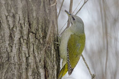 Grey headed woodpecker Royalty Free Stock Images