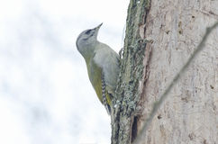 Grey headed woodpecker. (picus canus Stock Image