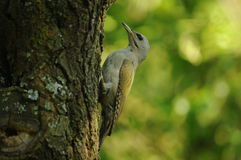 Grey-headed Woodpecker female (Picus canus) Stock Photos